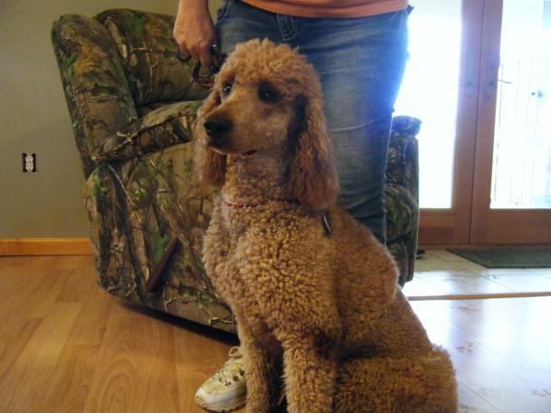 Copper, AKC Standard Poodle